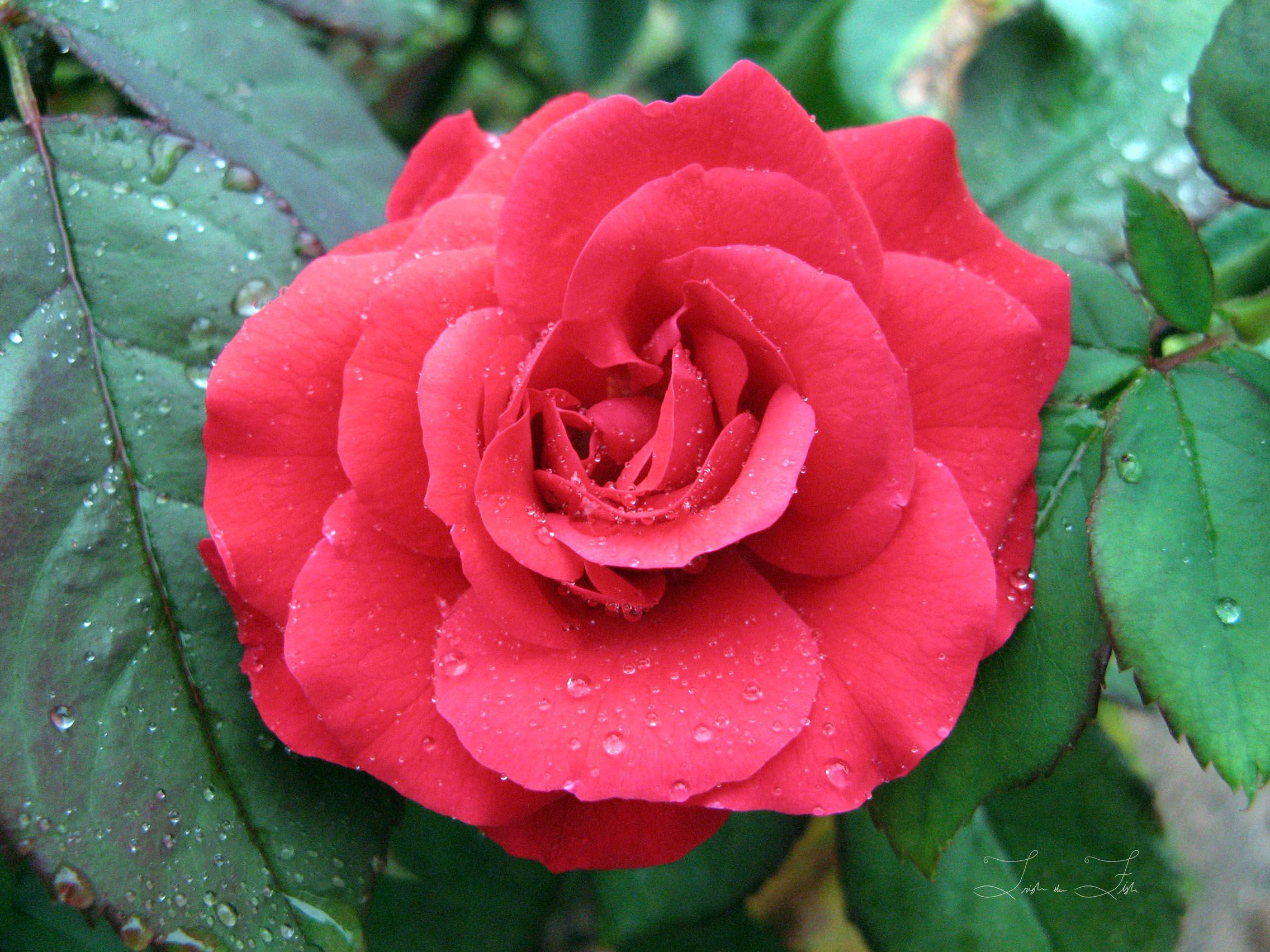 Dewy red Rose in Full Bloom