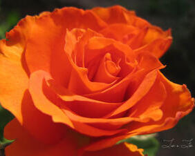 Sunny Gingersnap Rose
