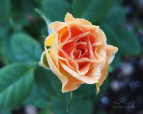 Dewy Yellow Rose