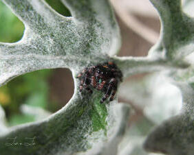 Itty Bitty Spider on Dusty Miller Plant