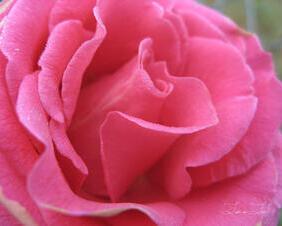 Pretty Pink Rose