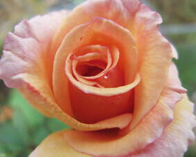 Dewy Tahitian Sunset Rose