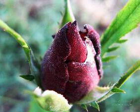 Dewy Red Rosebud in Early Morning Light