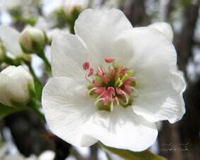 Spring Pear Blossom in Full Bloom