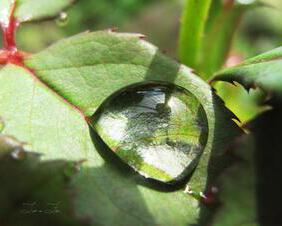 Large Water Drop on Rosebush Leaf